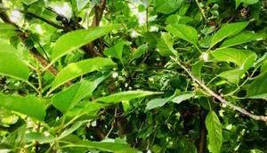 Kirschenpflücken oder Perspektiven eines Obstbaumes