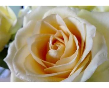 Foto: Rose in zarten Cremetönen