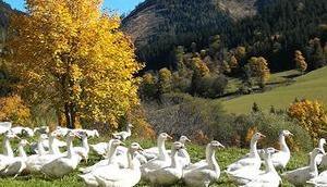 Bild Woche: Gänse genießen Herbst