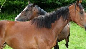 Foto: Zwei braune Pferde
