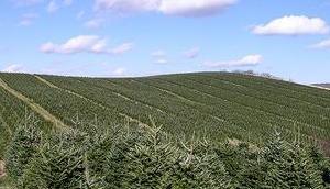 nachhaltig sind ökologische Weihnachtsbäume wirklich?