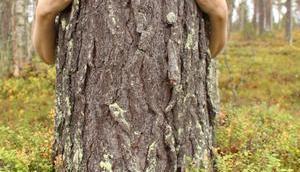 Halipuu Skandinavische Bäume adoptieren Nähe Weihnachtsmann