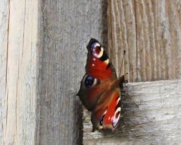 Schmetterlingsstauden