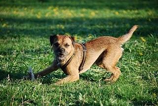 Border Terrier und Krampfanfälle