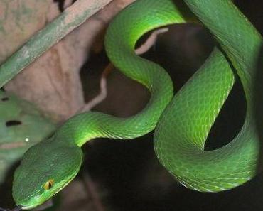 (Gift-) Schlangen in Kambodscha T. 2