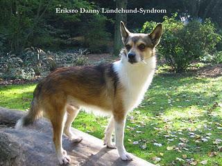 Hundezucht mit Erbkrankheiten - Gibt es ein Lundehund Syndrom?