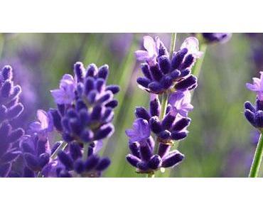 Arzneikräuter bei Stress und nervlicher Belastung – Lavendel