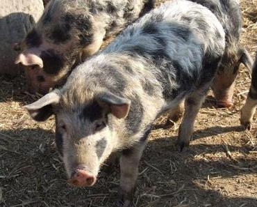 Bio-Trend Schweineleasing: Erst streicheln, dann schlachten