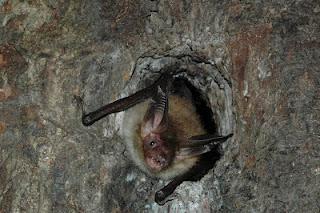 Seltene Bechsteinfledermäuse in der Segeberger Kalkberghöhle
