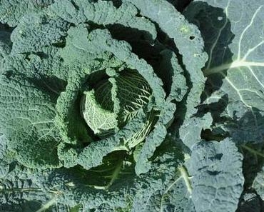 cabbage harvest, pests fight and attempts to store