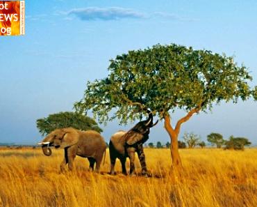 Afrika und sein berühmtester Baum - Marulabaum