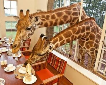 Guten Morgen! Frühstück mit Giraffen