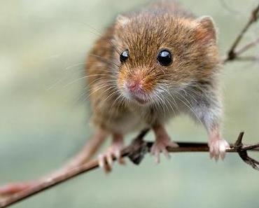 Können Mäuse fliegen?