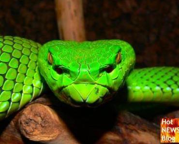 Warum Schlangengift bei Hüftoperationen hilft