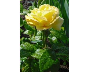 Bodenpflege bei Rosen