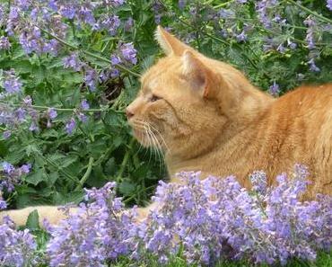 Katzenminze – Die Katzenpflanze zum Wohlfühlen
