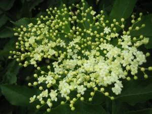 Holunder – Blüten und Saft für die Abwehr