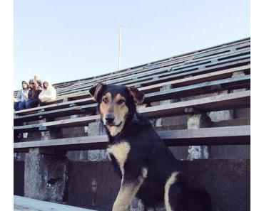 Haarige Flitzer und diebische Stadionhunde: Tierische Fans beim chilenischen Fußball