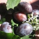 Die Pflaume hilft der Verdauung