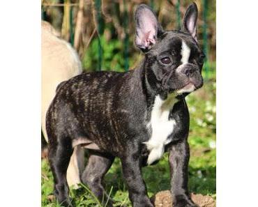 Die Französische Bulldogge - Wo züchten wir hin? (Teil 1/2)