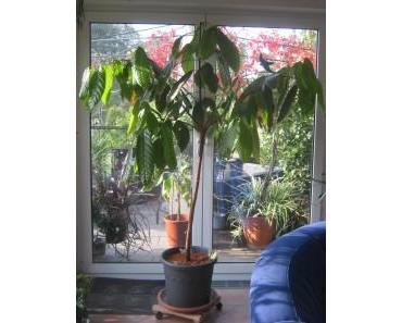 Kakaopflanze/ Theobroma Cacao – Pflege und Erfahrungen