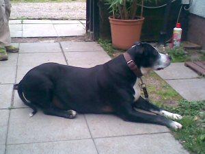 Mythos Kampfhund