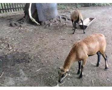 Stallbesuche - Kameruner Schafe eines Bekannten