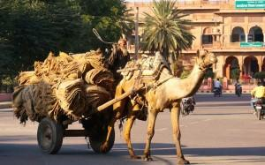Kameleis, eine Hochzeit auf indisch und ein Tempel voll heiliger Ratten