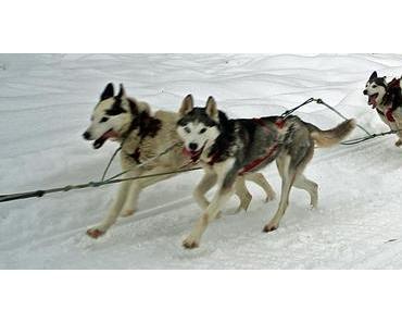 Debby und Faya auf dem Fur Rondy Schlittenhunde Rennen