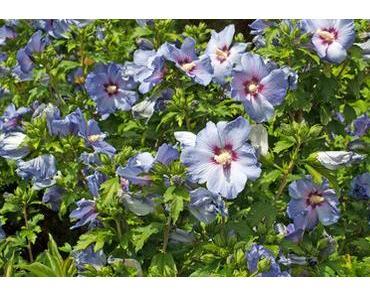 Alverde Zell Aktiv Tagespflege Blauer Hibiskus