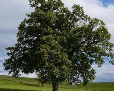 Bäume sind Heiligtümer - Urgesetz des Lebens - Hermann Hesse