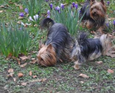 Kellie, Mathias und drei Yorkshire Terrier – ein unzertrennliches Team