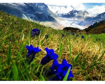 Heilkräuter am Aletschgletscher (Schweiz): Erlebnistouren durch Wald und Wiese
